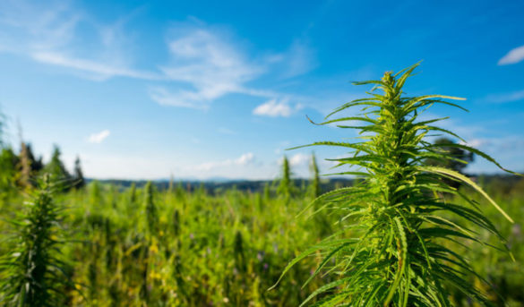 outdoor-cannabis-risks-cannabis-crop-risksJPG